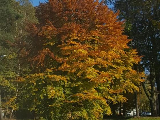 Ampelbaum
